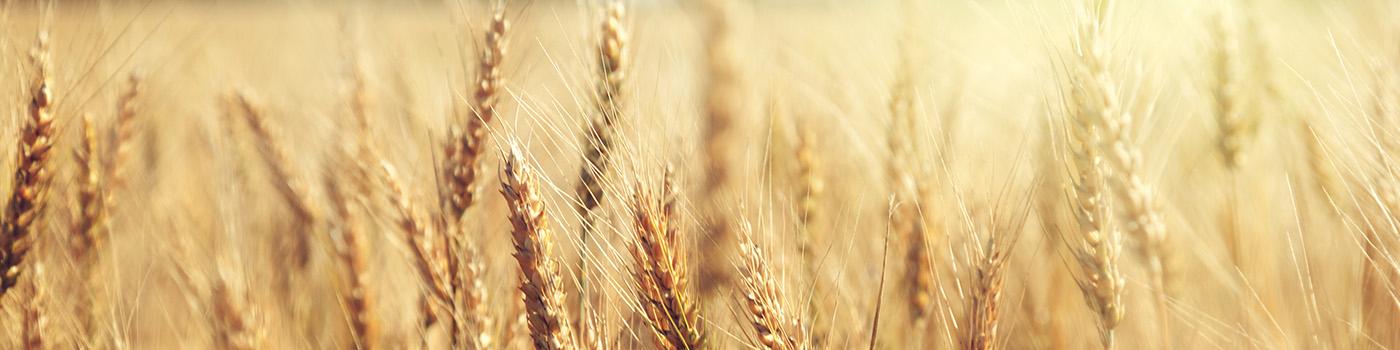 Wheat-Header-Image-1400x350